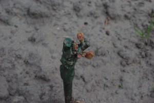 Johanniter 9 dagen  na planten 12-05-2015