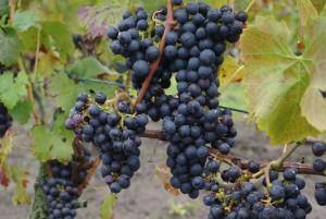 Nog niet eens alle druiven zijn helemaal verkleurd