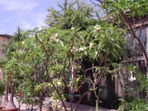 plumeria botanisch tuin Lucca
